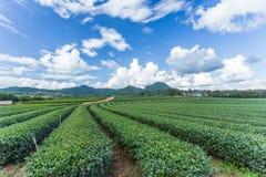Tea plantation with blue sky. Background Stock Image