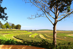 Tea plantation with blue sky Stock Photography