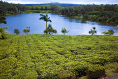 Tea plantation (Bois Cheri) in the foothills. Mauritius Royalty Free Stock Photography