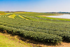 Tea Plantation. At Boon Rawd Farm ,Chiang Rai Royalty Free Stock Photos