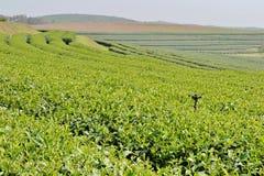 Tea Plantation. Stock Images