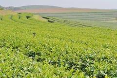 Tea Plantation. Stock Photography