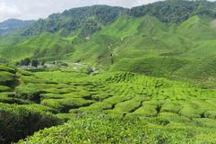 Tea plantation, Camellia Sinensis. Tea plantation in the Cameron Highlands,Malaysia,Asia Stock Image