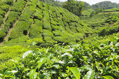 Tea plantation, Camellia Sinensis. Tea plantation in the Cameron Highlands,Malaysia,Asia Stock Images