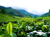 Tea Plantation @ Cameron Highland Royalty Free Stock Photos