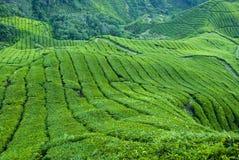 Tea Plantation, Cameron Highland. The morning feel of fresh air at tea plantation royalty free stock image