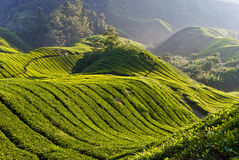 Tea Plantation, Cameron Highland Malaysia Royalty Free Stock Photography