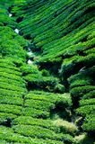 A tea plantation in Cameron Highland Malaysia. A beautiful tea plantation in Cameron Highland Malaysia Stock Image