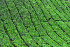 Tea plantation in the cameron highlands Stock Image