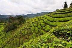 Tea plantation in the Cameron Highlands Royalty Free Stock Photos