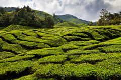 Tea plantation in the Cameron Highlands Royalty Free Stock Images