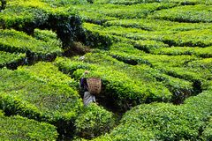 Tea plantation in the Cameron Highlands Stock Photography