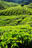 Tea plantation in the Cameron Highlands Royalty Free Stock Photo