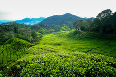 Tea Plantation, Cameron Highlands Stock Photo