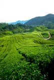 Tea Plantation, Cameron Highlands Stock Image