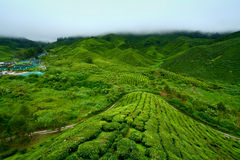 Tea Plantation, Cameron Highlands Stock Images