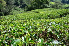 Tea plantation in Cameron Highlands Royalty Free Stock Images