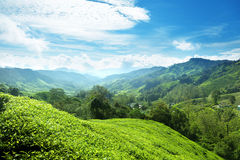 Tea plantation Cameron highlands Stock Photo