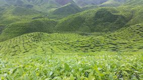 Tea plantation. At Cameron highlands Stock Image