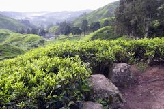 Tea Plantation at Cameron Highlands Stock Photo