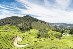 A tea plantation in the Cameron Highlands. A few hours north of Kuala Lumpur in Malaysia. this was a british hill station under colonial times royalty free stock images