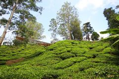Tea plantation Cameron highlands, Malaysia royalty free stock photos