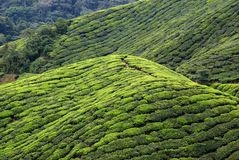 tea plantation, Cameron Highlands, Malaysia Royalty Free Stock Photo