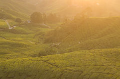Tea plantation in cameron highlands,malaysia Royalty Free Stock Image