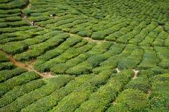 Tea Plantation. At Cameron Highlands Malaysia royalty free stock photos