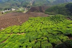 Tea plantation. Cameron highlands, Malaysia Royalty Free Stock Image