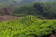 Tea plantation. Cameron highlands, Malaysia Stock Image