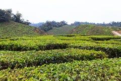 Tea plantation. Cameron highlands, Malaysia Stock Photos