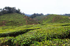 Tea plantation. Cameron highlands, Malaysia Stock Photo