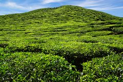Tea plantation Cameron highlands, Malaysia Stock Photos