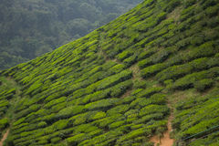 Tea Plantation. Cameron highlands, Malaysia Royalty Free Stock Photos