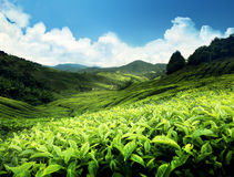 Tea plantation Cameron highlands Stock Photo