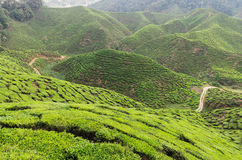 Tea plantation. Cameron highlands, Malaysia Stock Images