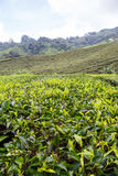 Tea Plantation At Cameron Highlands. Malaysia Royalty Free Stock Photography