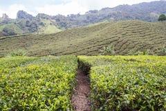 Tea Plantation At Cameron Highlands. Malaysia Stock Images