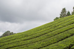 Tea Plantation At Cameron Highlands. Malaysia Stock Photo