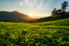 Tea plantation in Cameron highlands, Malaysia Royalty Free Stock Images
