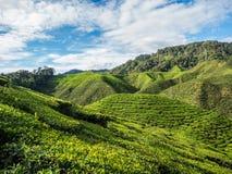 Tea plantation in the Cameron highlands Stock Photos