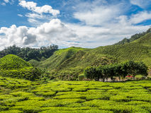 Tea plantation in the Cameron highlands Stock Photo