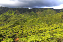 Tea Plantation in the Cameron Highlands, Malaysia Stock Photo