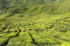 Tea Plantation in the Cameron Highlands, Malaysia Royalty Free Stock Photography