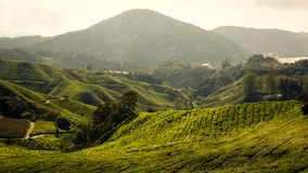 Tea plantation at Cameron Highlands, Malaysia royalty free stock images