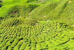 Tea plantation in Cameron Highlands, Malaysia Stock Images