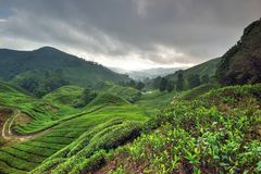 Tea Plantation, Cameron Highlands, Pahang. BOH Plantations is a leading tea grower in Malaysia with 1,200 hectares of tea gardens located in the highlands and stock image