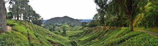 Tea plantation in Cameron highlands Royalty Free Stock Image