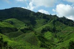 Tea Plantation, Cameron Highlands stock photo